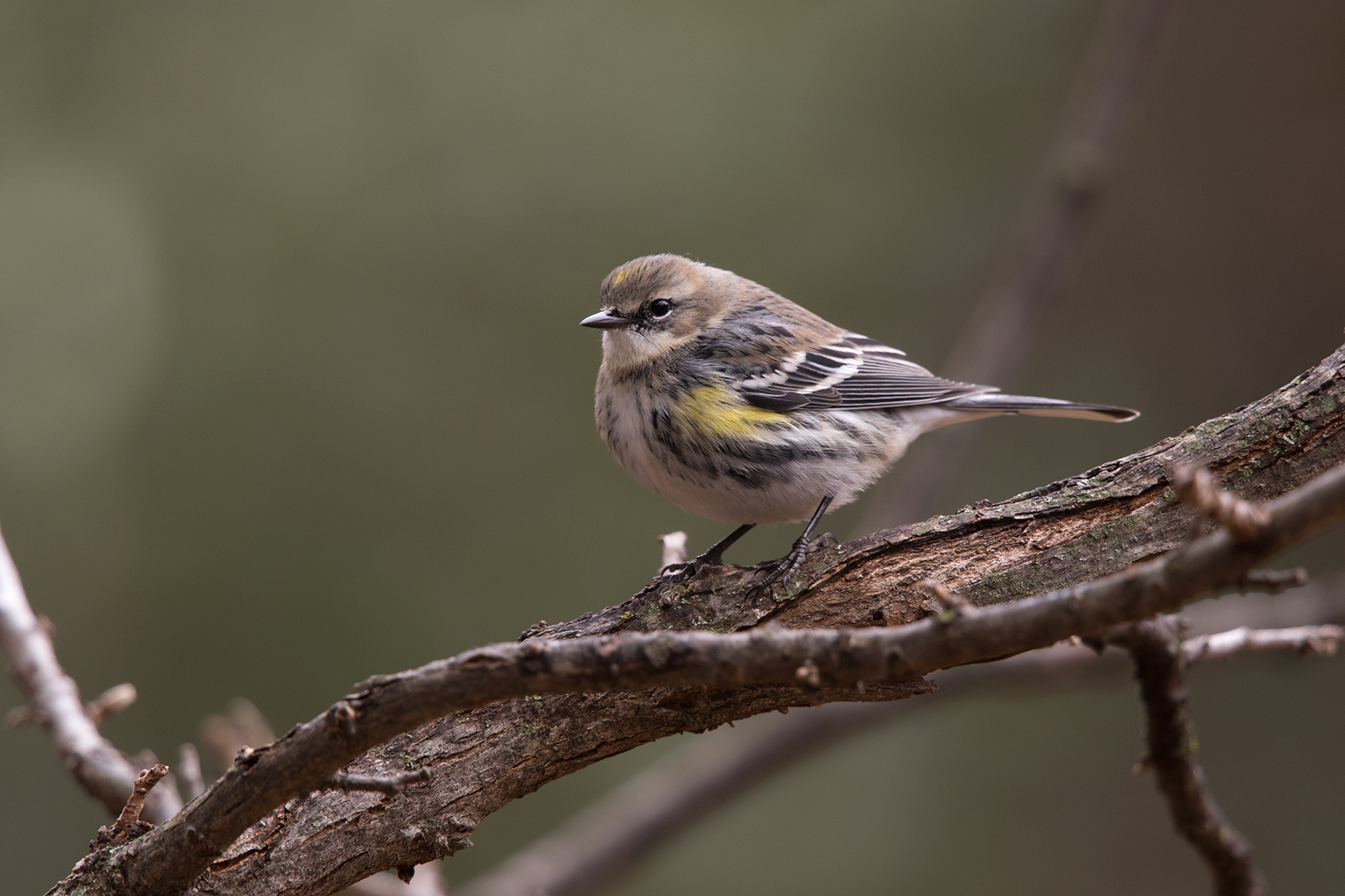YELLOW-RUMPED WARBLER - TAYLOR COUNTY TX DEC. 2016