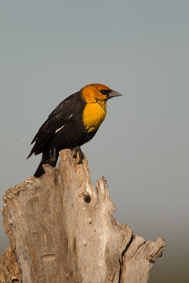 YELLOW-HEADED BLACKBIRD - GRAYSON COUNTY TX