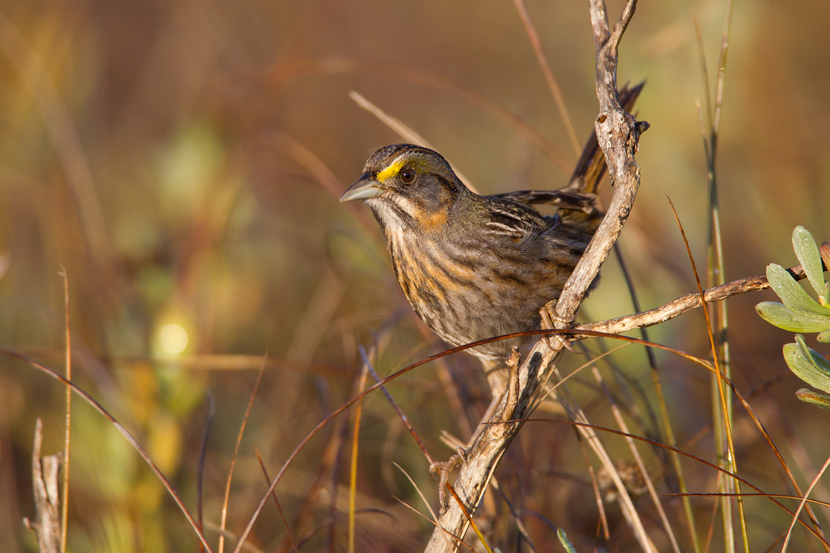 SEASIDE SPARROW - GALVESTON COUNTY TX