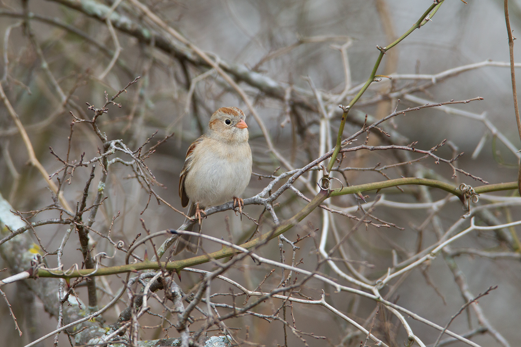 FIELD SPARROW - DENTON COUNTY TX