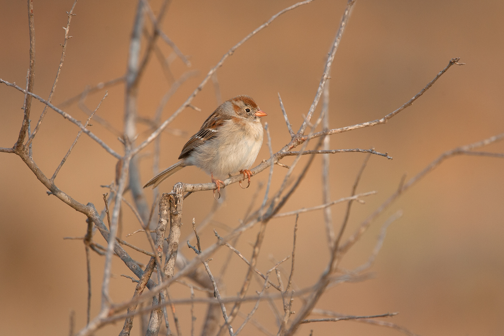 FIELD SPARROW - BROWN COUNTY TX