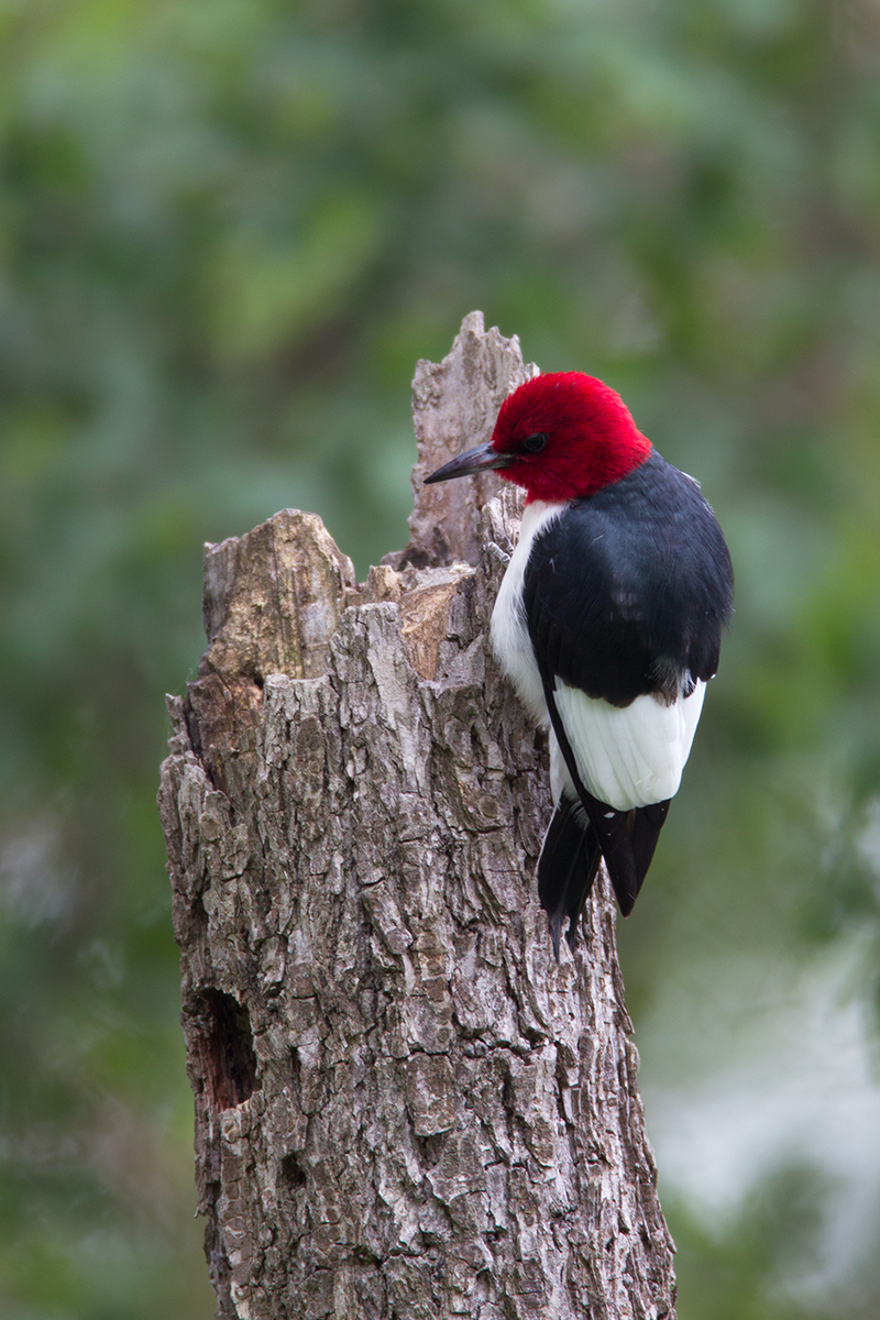 RED-HEADED WOODPECKER - GRAYSON COUNTY TX