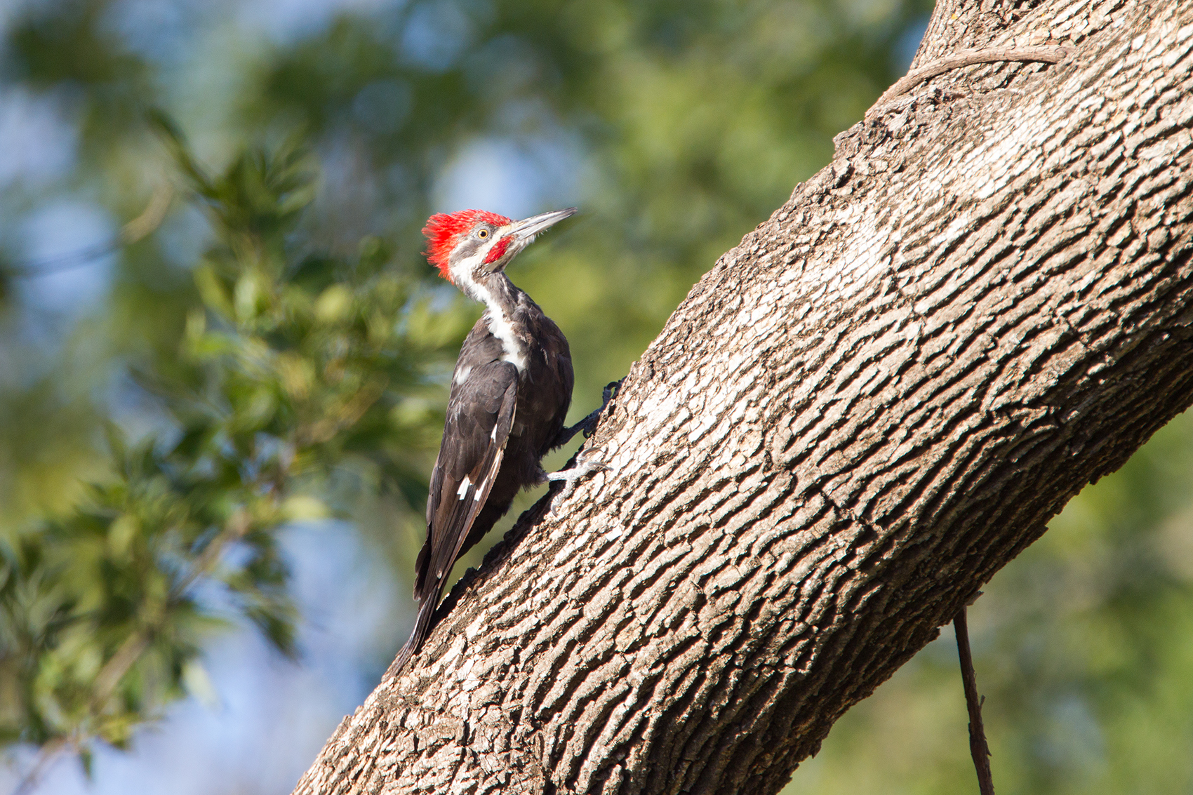 PILEATED WOODPECKER - GRAYSON COUNTY TX