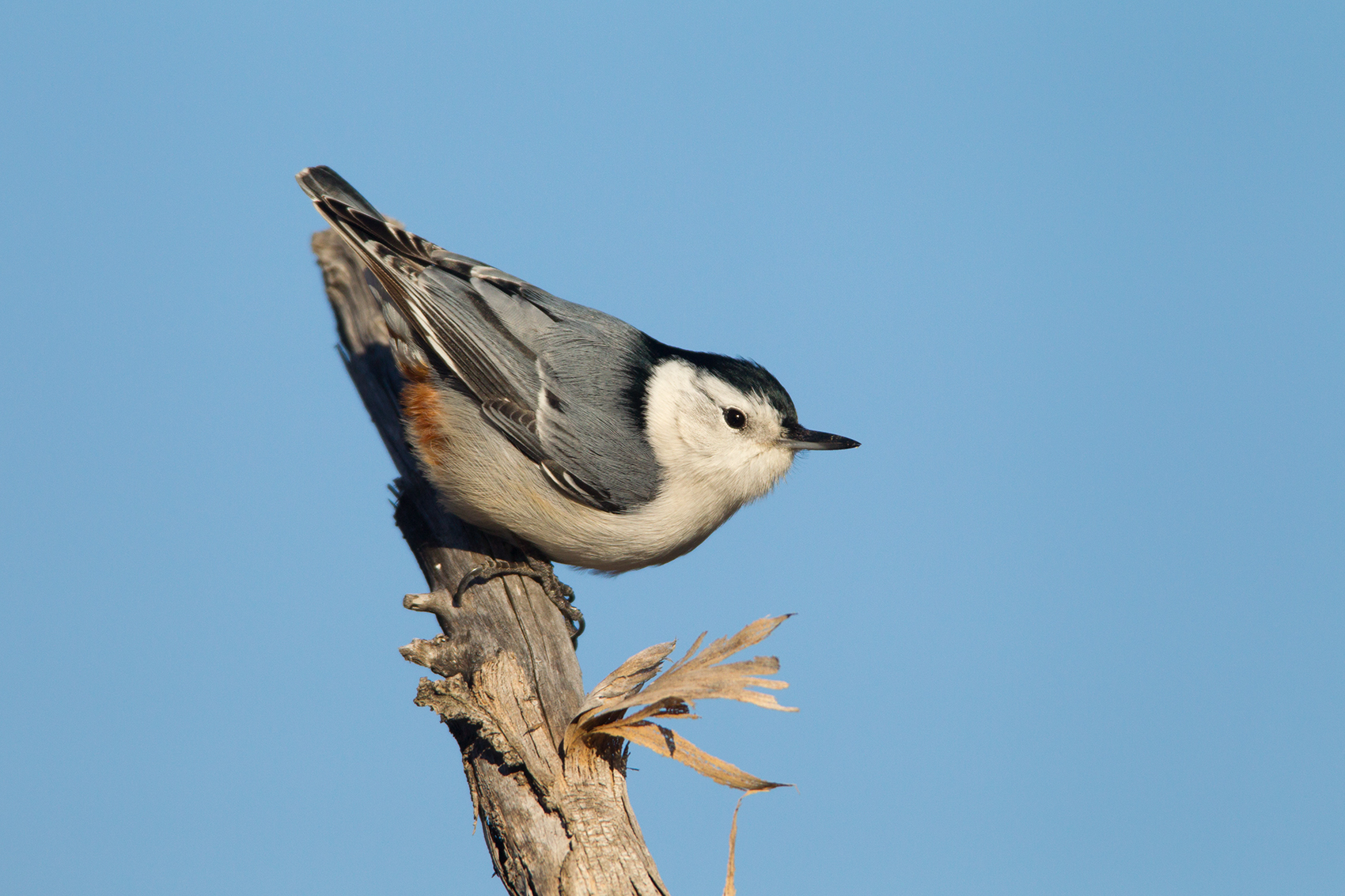 WHITE-BREASTED NUTHATCH - GRAYSON COUNTY TX
