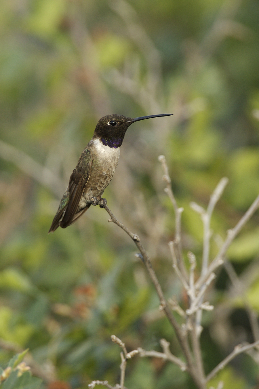 BLACK-CHINNED HUMMINGBIRD - SOCORRO COUNTY NM