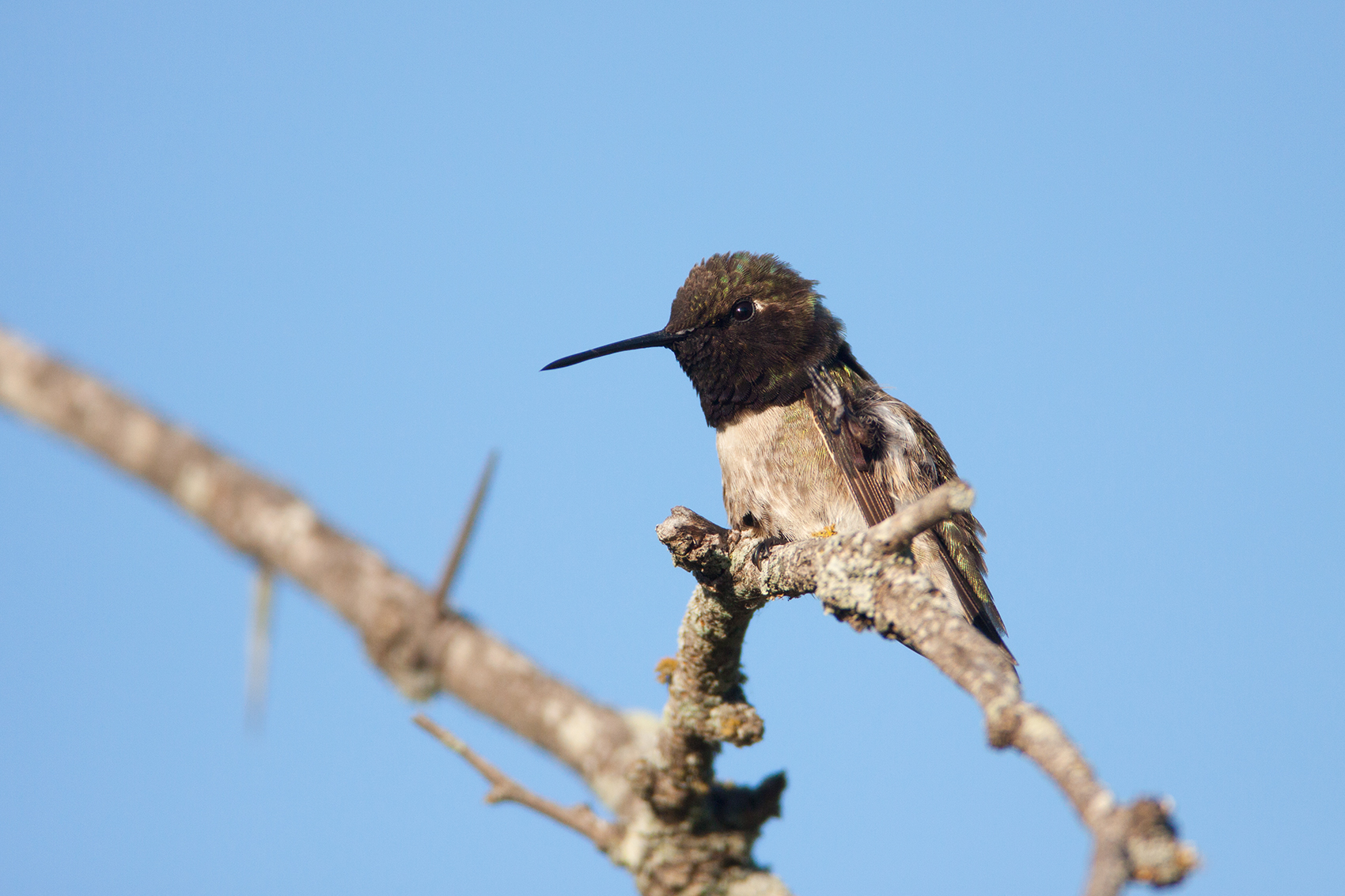 BLACK-CHINNED HUMMINGBIRD - BROWN COUNTY TX