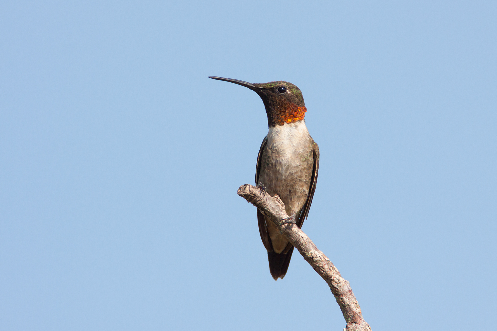 RUBY-THROATED HUMMINGBIRD - DENTON COUNTY TX