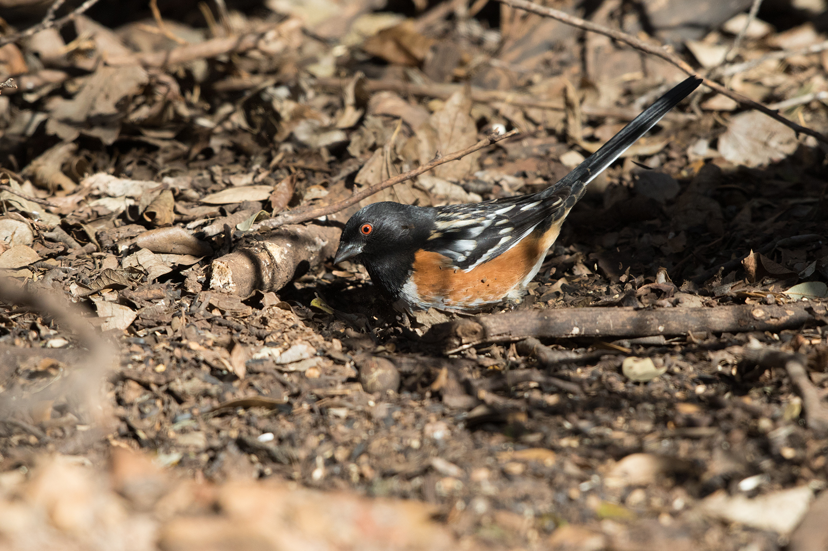 SPOTTED TOWHEE - TAYLOR COUNTY TX JAN 2017