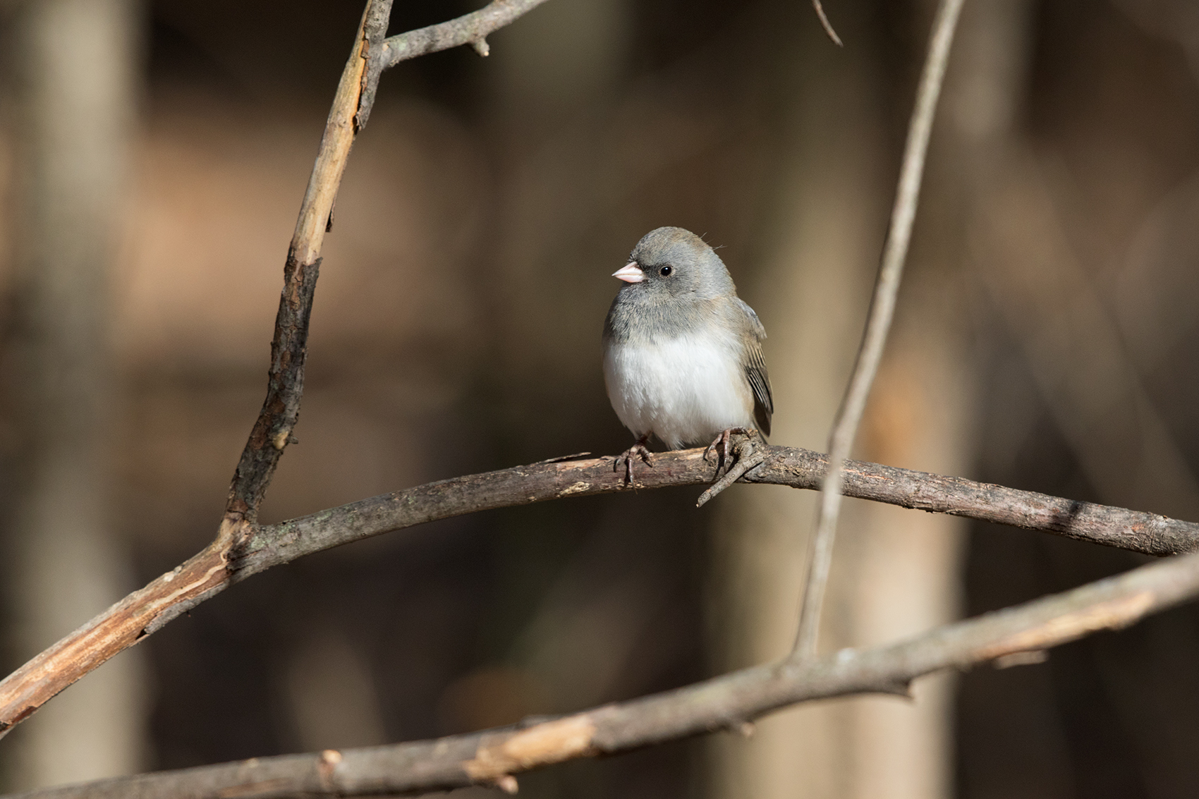 DARK-EYED JUNCO (SLATE-COLORED) - TAYLOR COUNTY TX JAN 2017