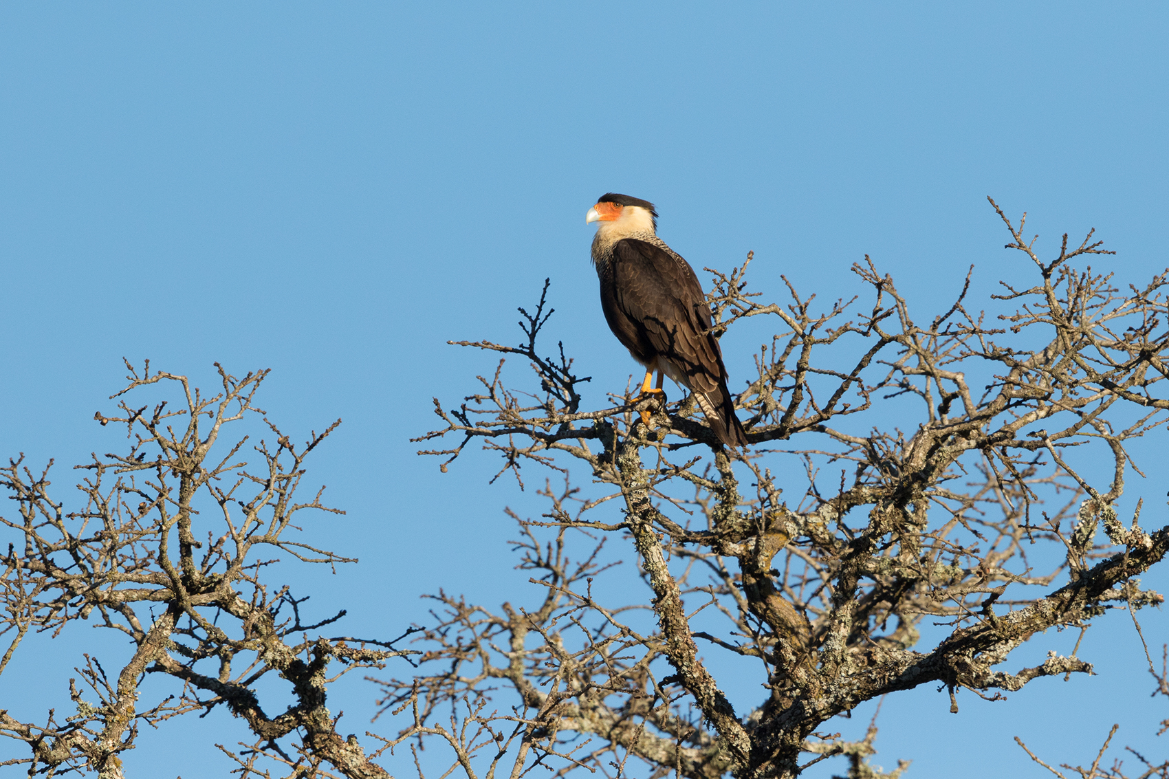 CRESTED CARACARA - WASHINGTON COUNTY TX JAN 2017