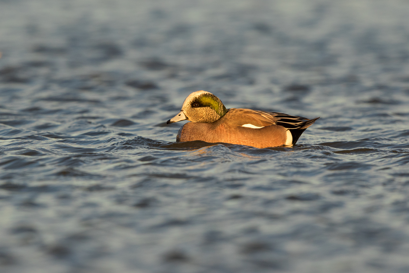 AMERICAN WIGEON - TAYLOR COUNTY TX JAN 2017