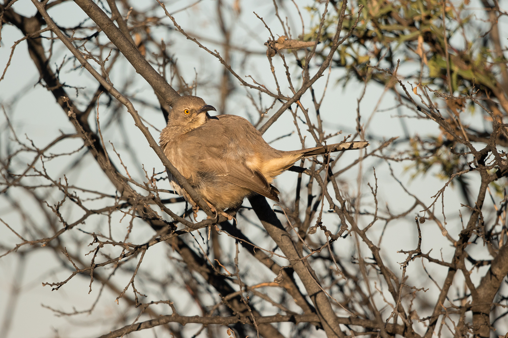 CURVE-BILLED THRASHER - TAYLOR COUNTY TX JAN 2017