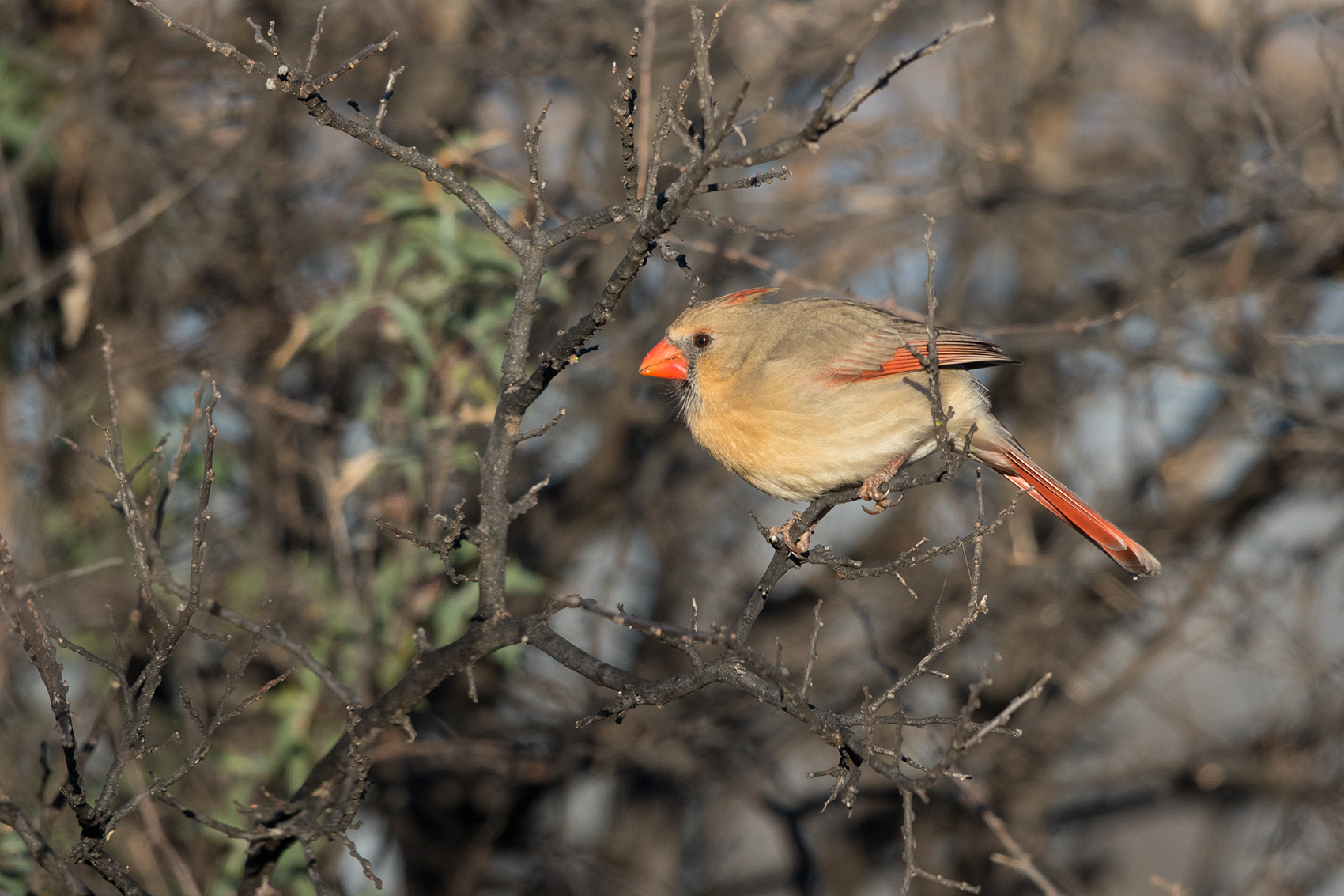 NORTHERN CARDINAL - TAYLOR COUNTY TX JAN 2017
