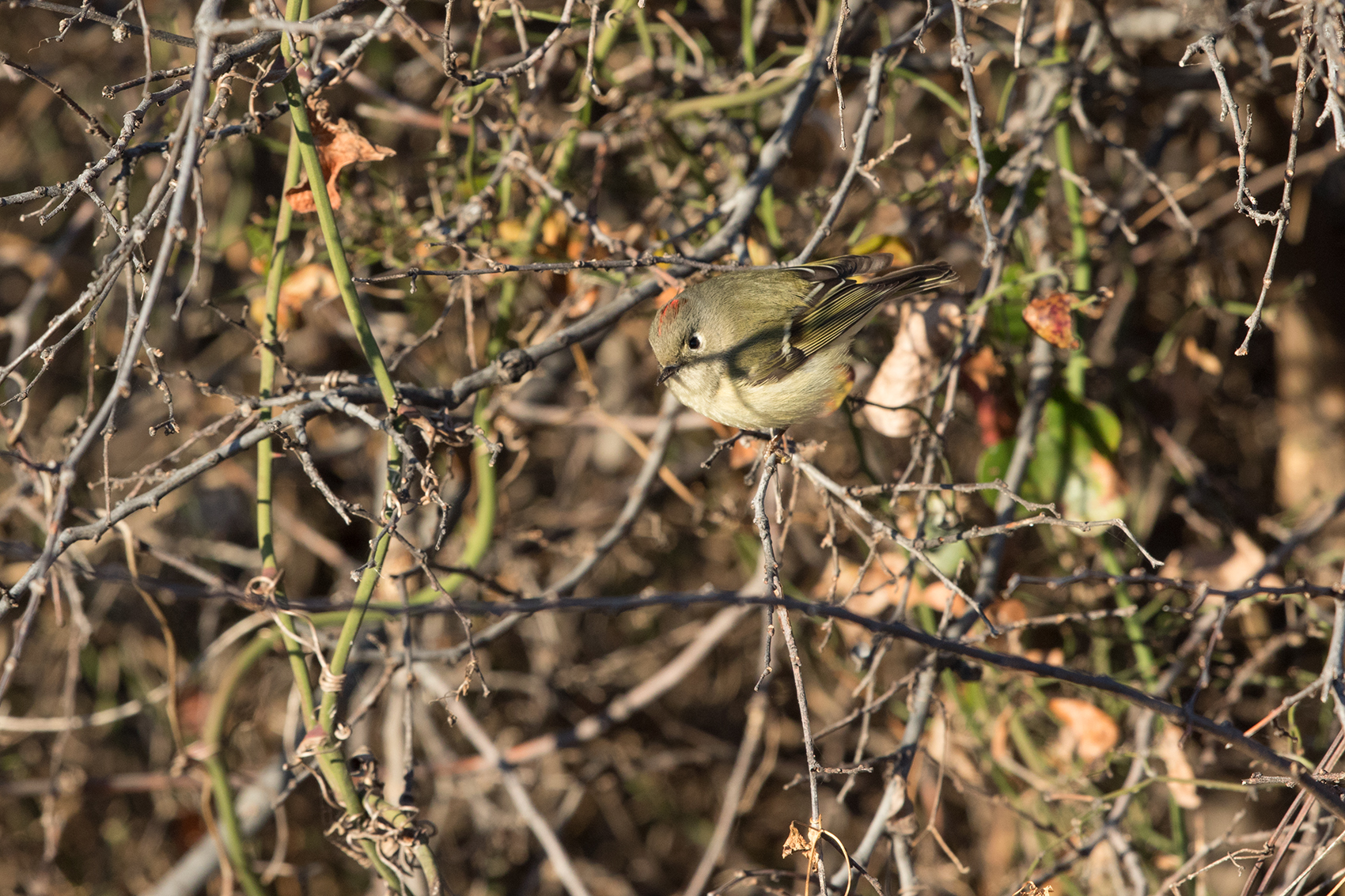 RUBY-CROWNED KINGLET - TAYLOR COUNTY TX JAN