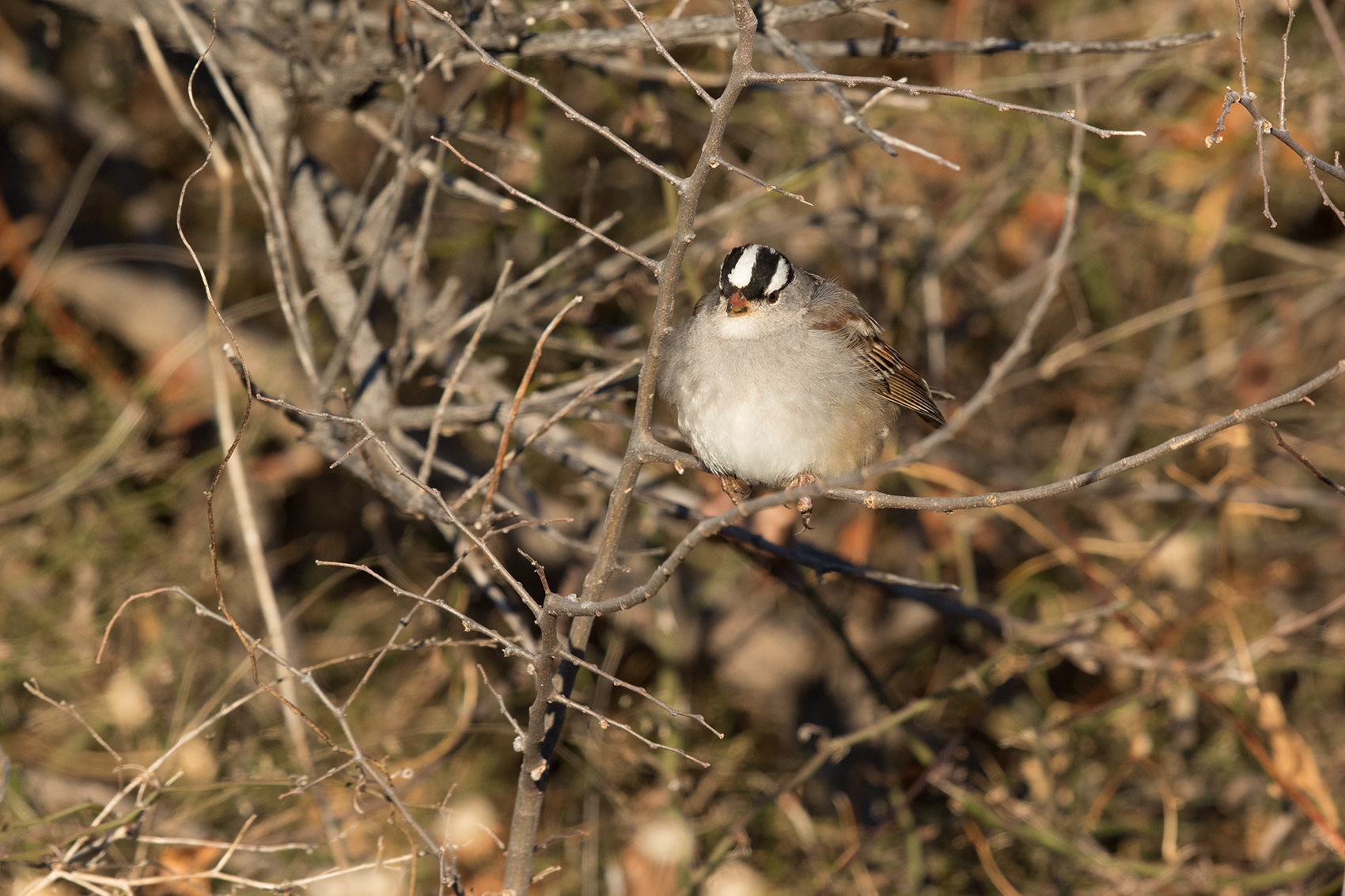 WHITE-CROWNED SPARROW - TAYLOR COUNTY TX JAN 2017