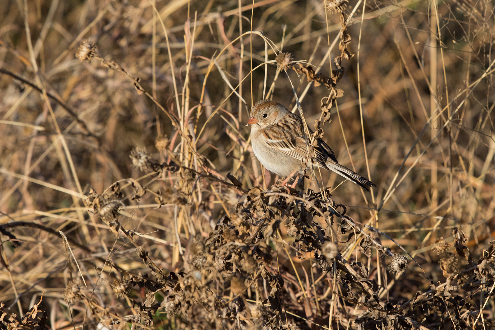 FIELD SPARROW - TAYLOR COUNTY TX JAN 2017