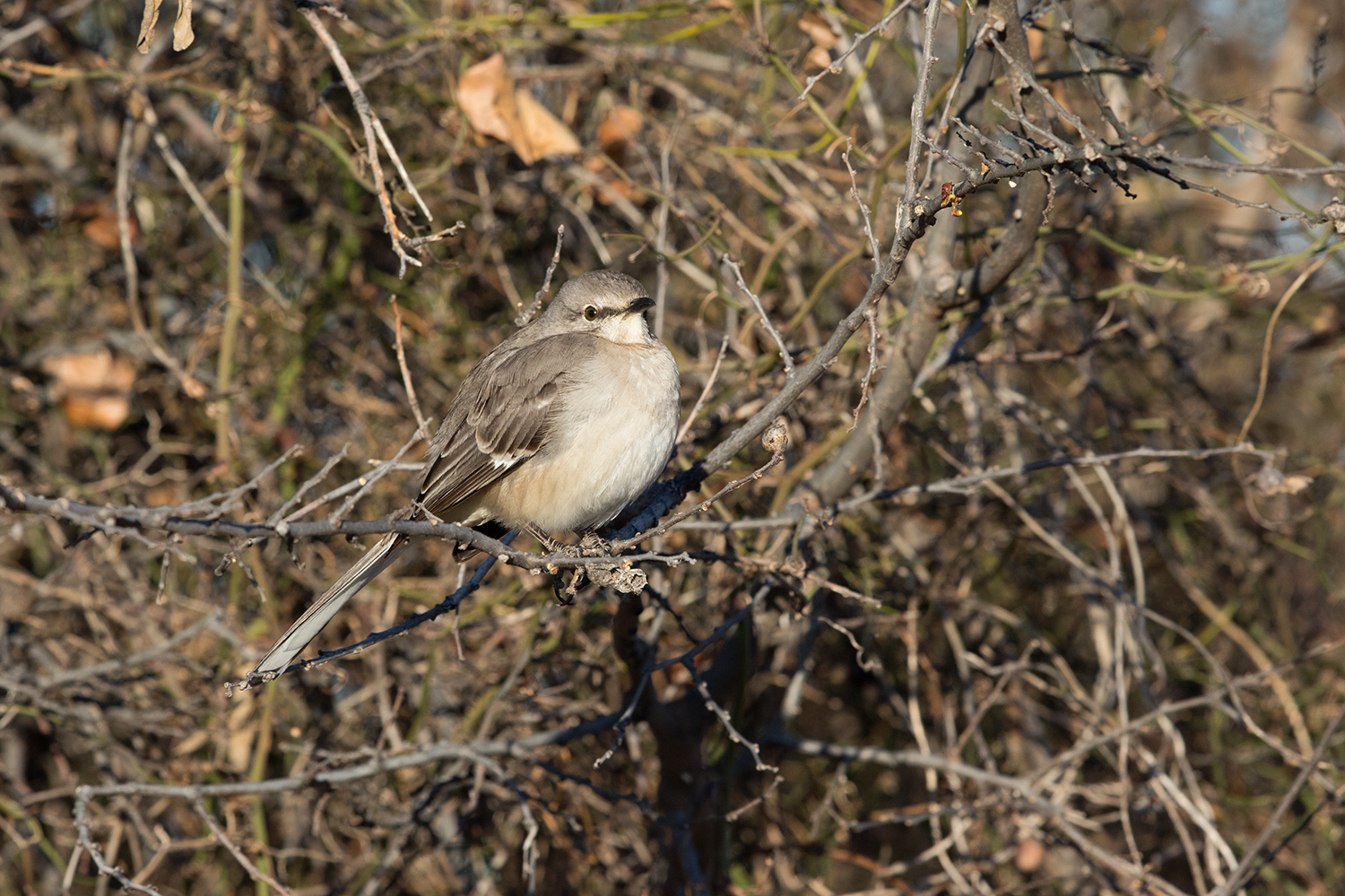 NORTHERN MOCKINGBIRD - TAYLOR COUNTY TX JAN 2017