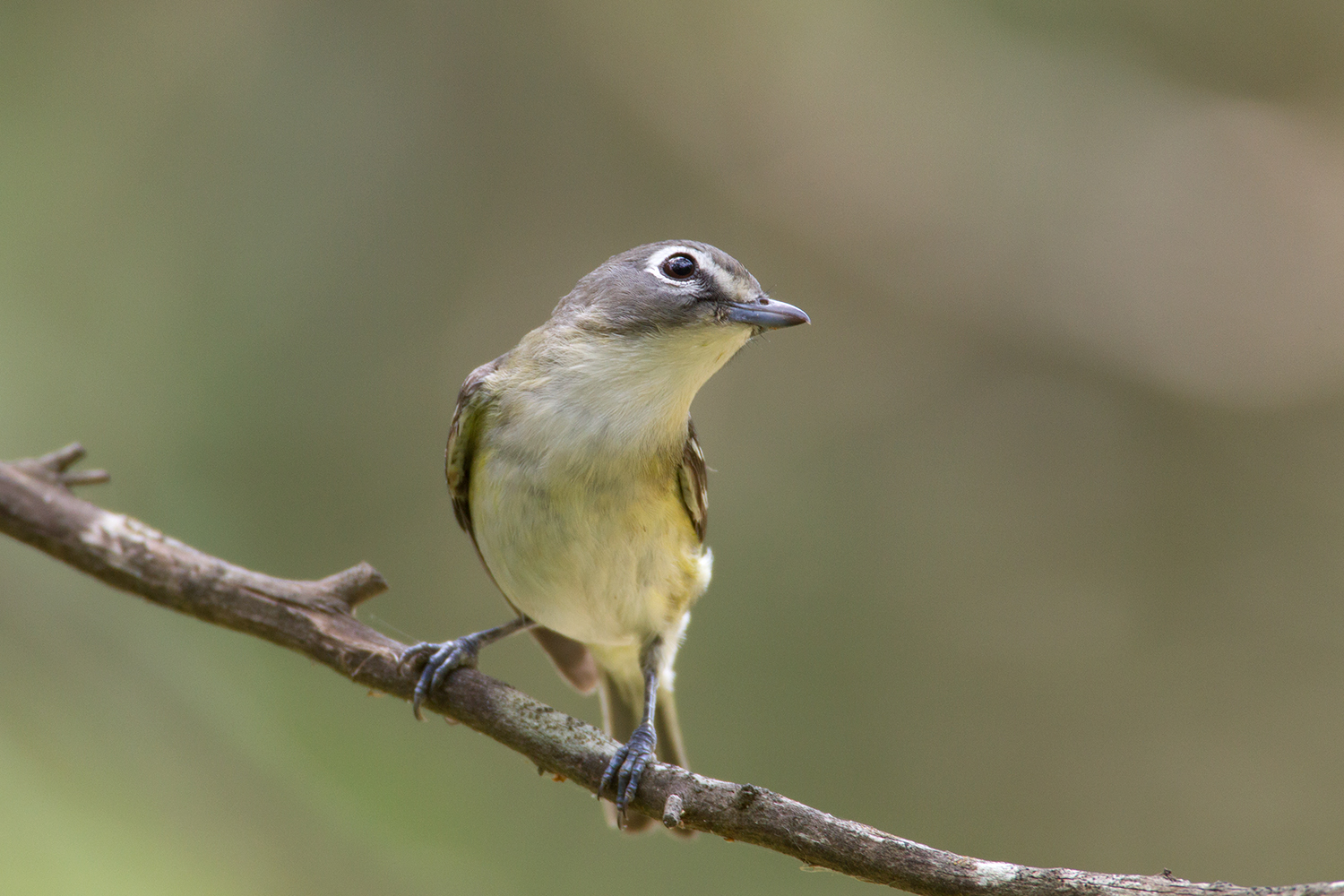 BLUE-HEADED VIREO - GUADALUPE COUNTY TX
