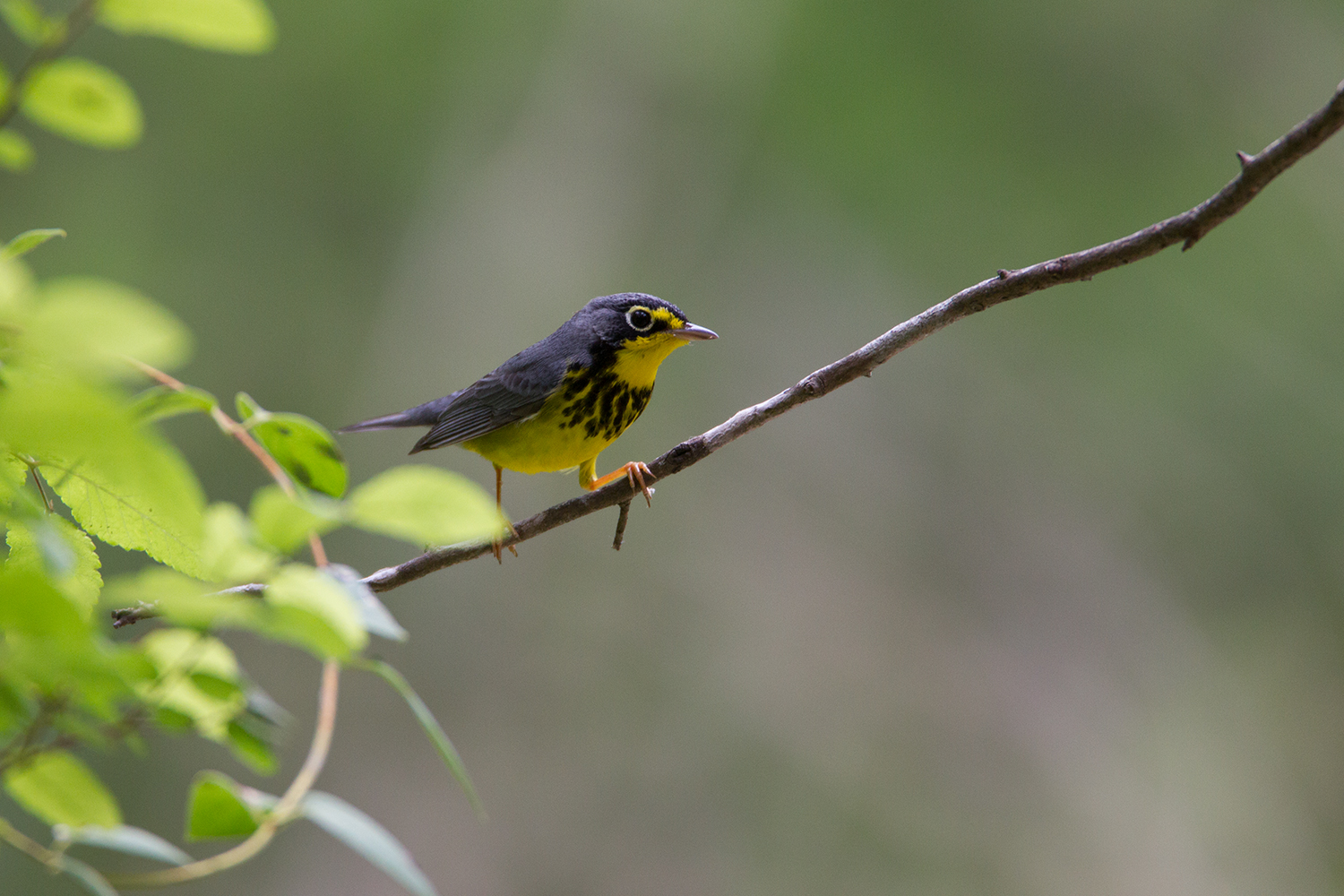 CANADA WARBLER - GUADALUPE COUNTY TX