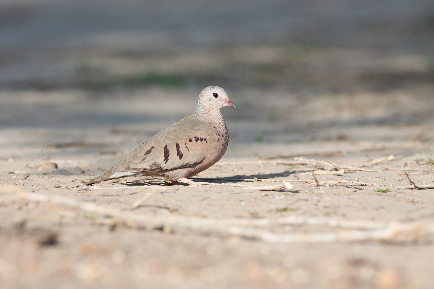 COMMON GROUND-DOVE - HIDALGO COUNTY TX