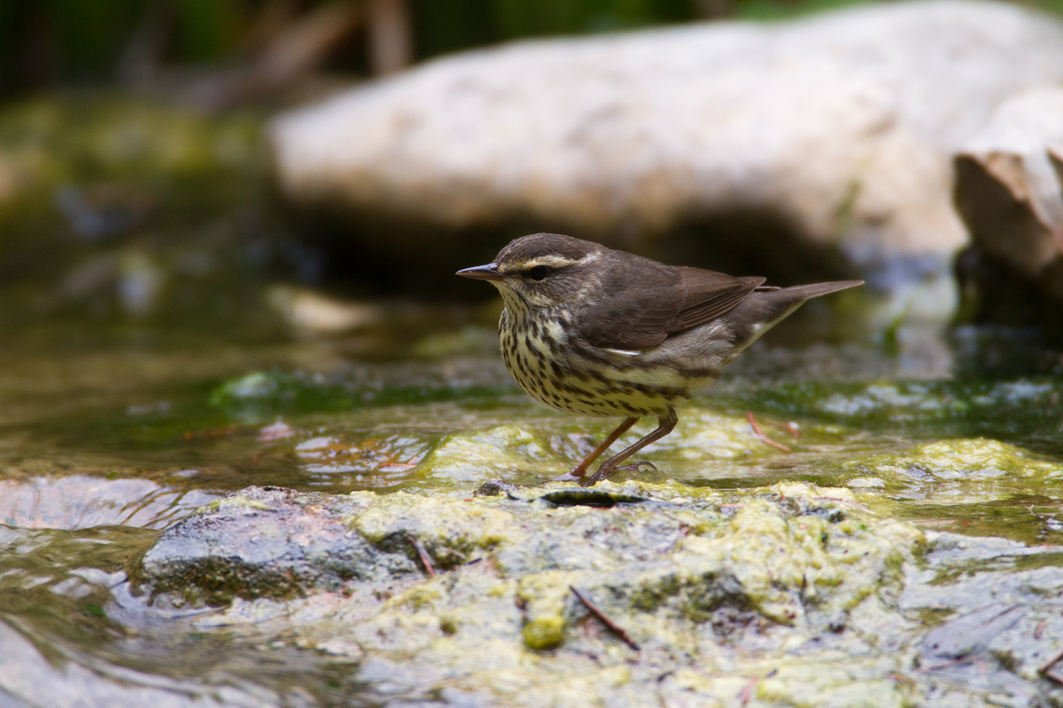 NORTHERN WATERTHRUSH - GUADALUPE COUNTY TX