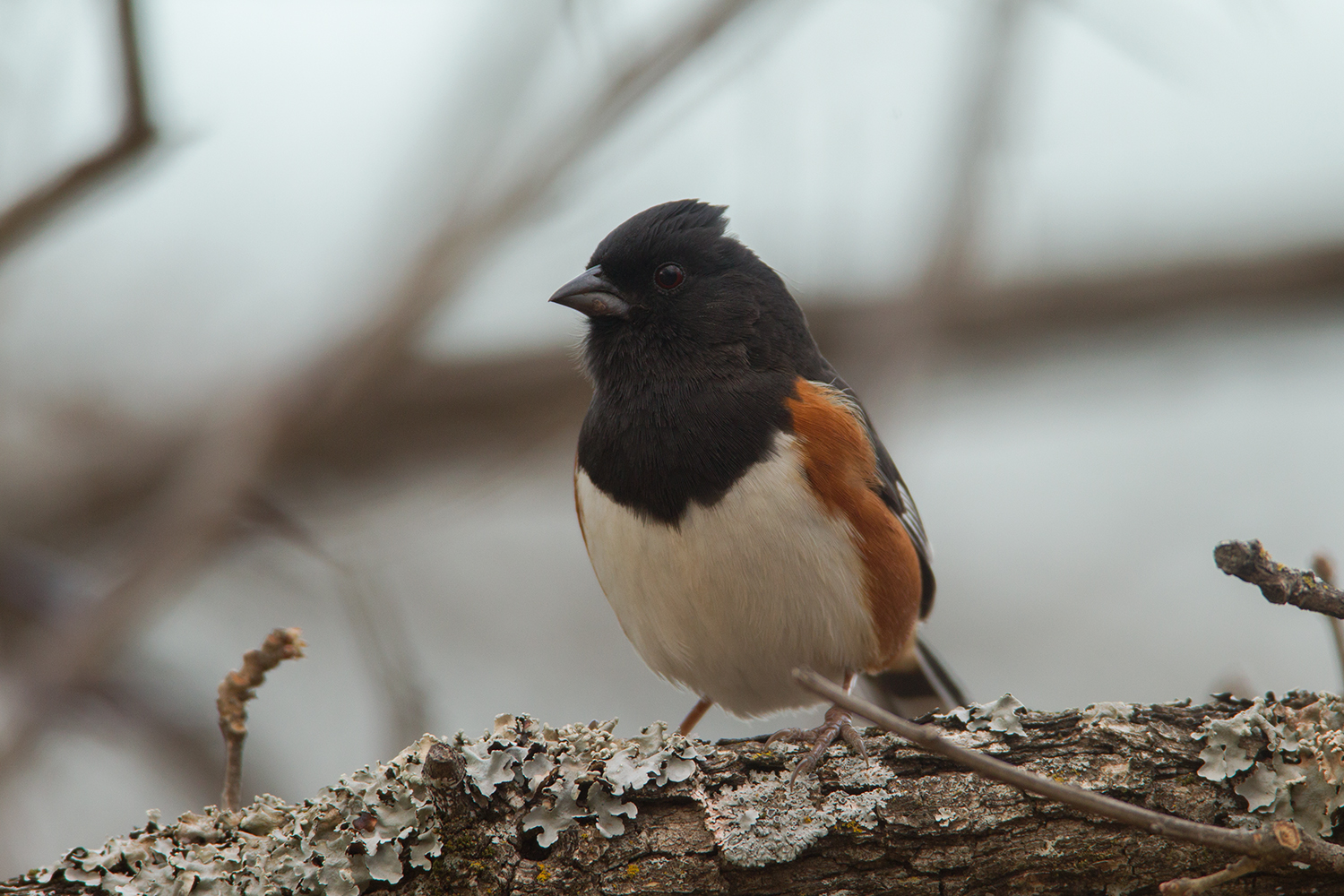 EASTERN TOWHEE - DENTON COUNTY TX