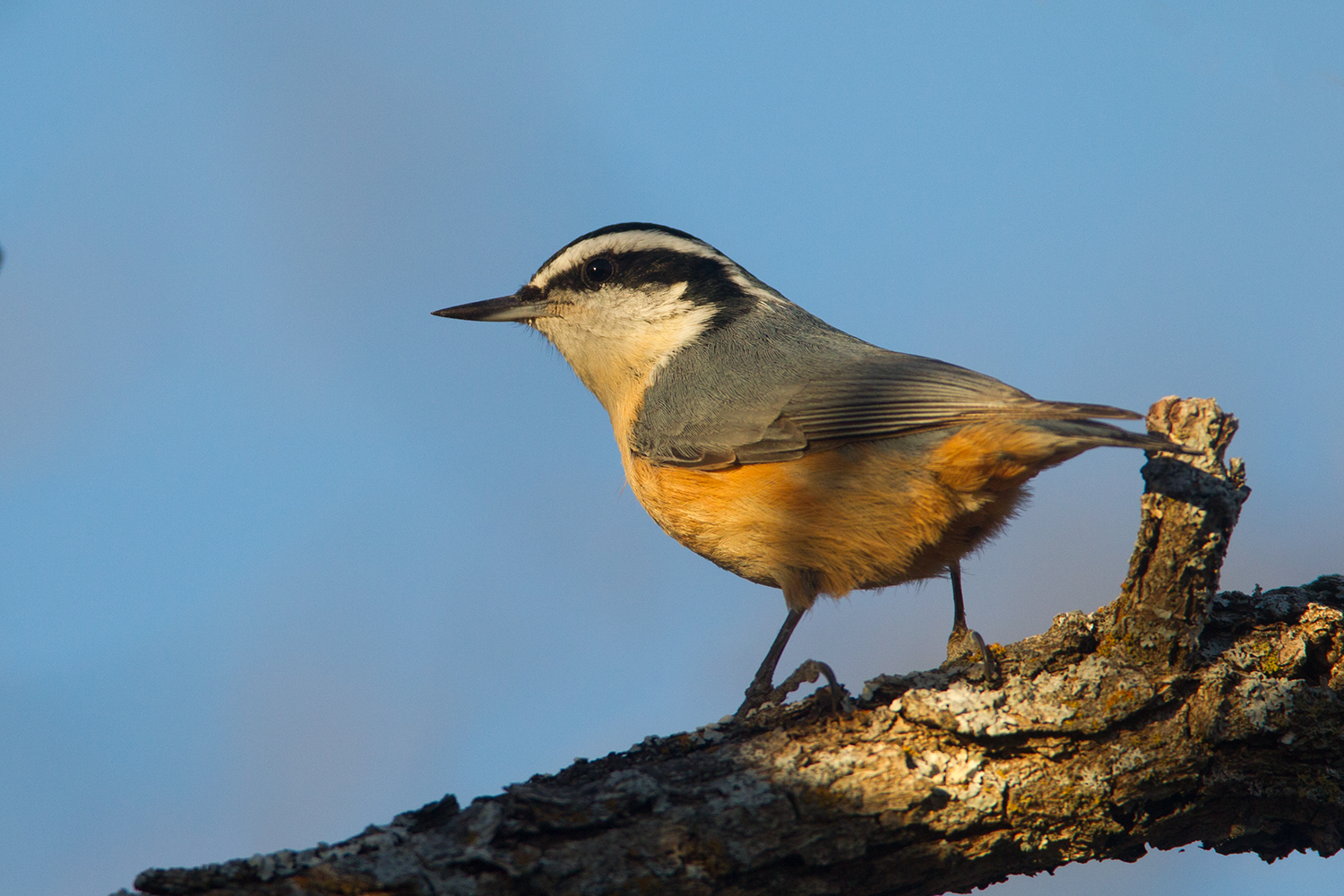 RED-BREASTED NUTHATCH - TAYLOR COUNTY TX