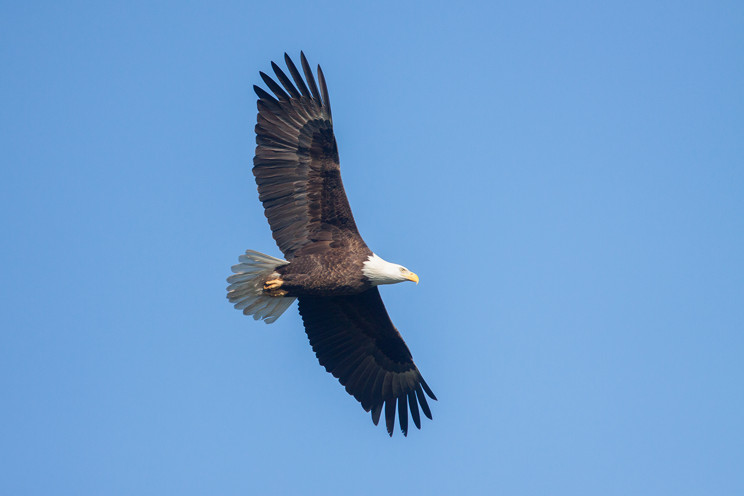 BALD EAGLE - GRAYSON COUNTY TX