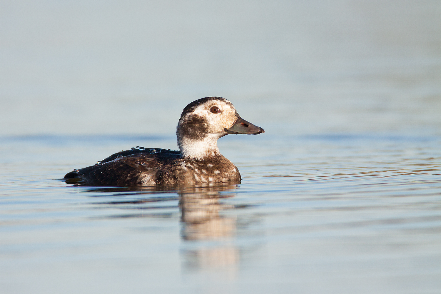 LONG-TAILED DUCK - TARRANT COUNTY TX