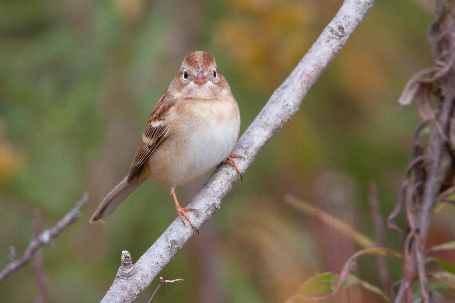 FIELD SPARROW - TAYLOR COUNTY TX
