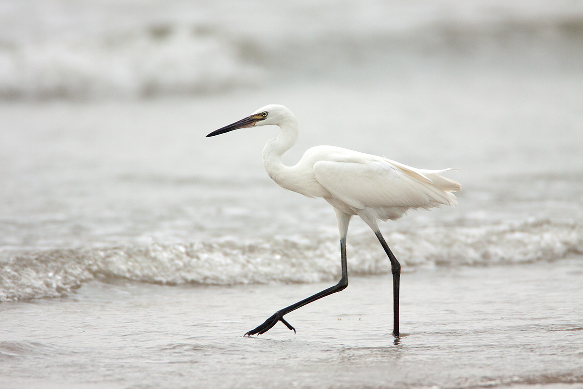 REDDISH EGRET-WHITE MORPH - GALVESTON COUNTY TX