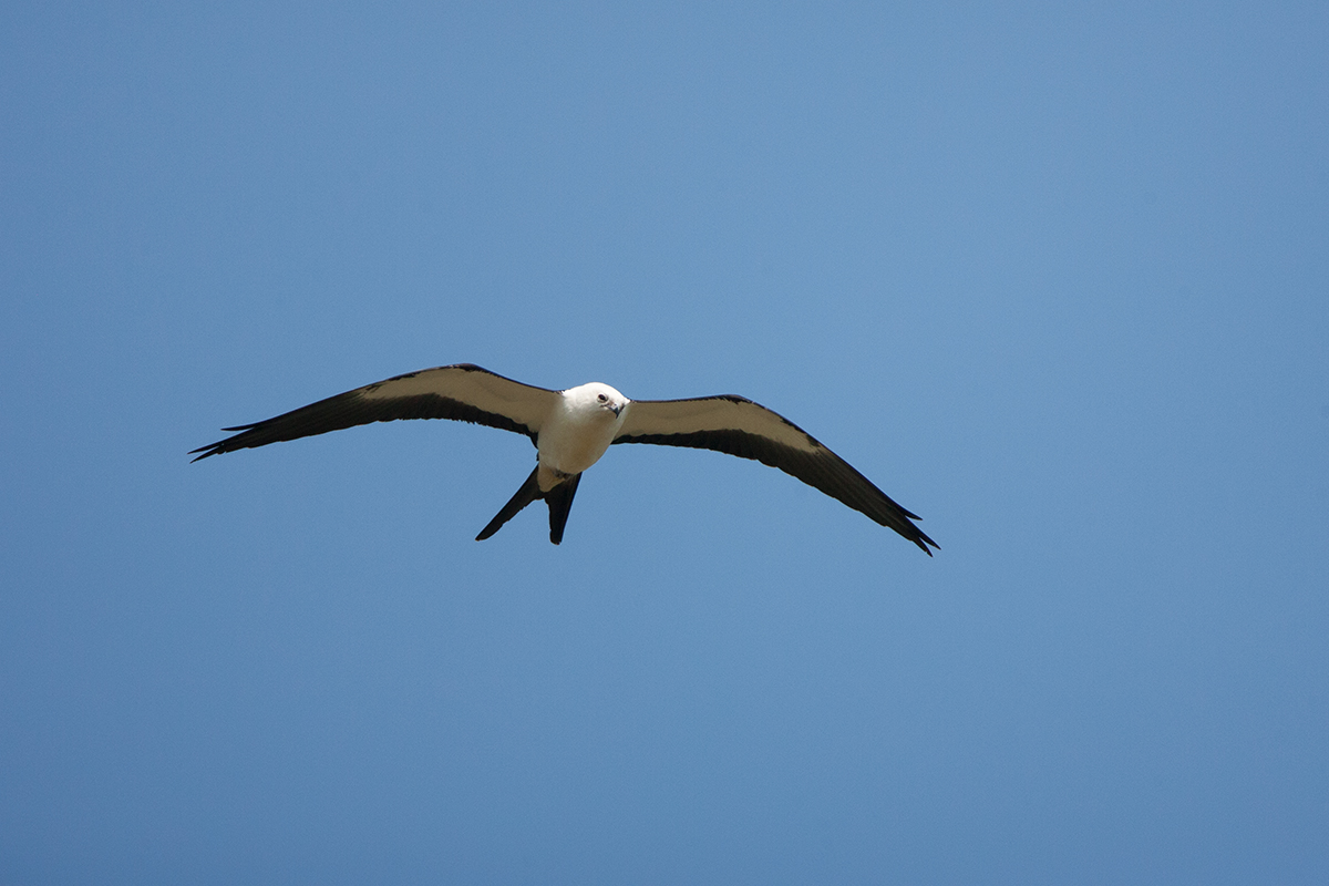 SWALLOW-TAILED KITE - DALLAS COUNTY TX