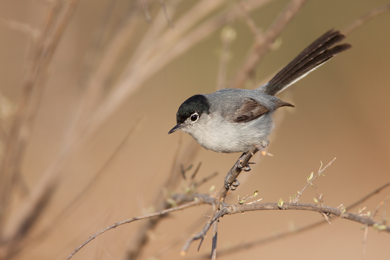 BLACK-TAILED GNATCATCHER - PRESIDIO COUNTY TX
