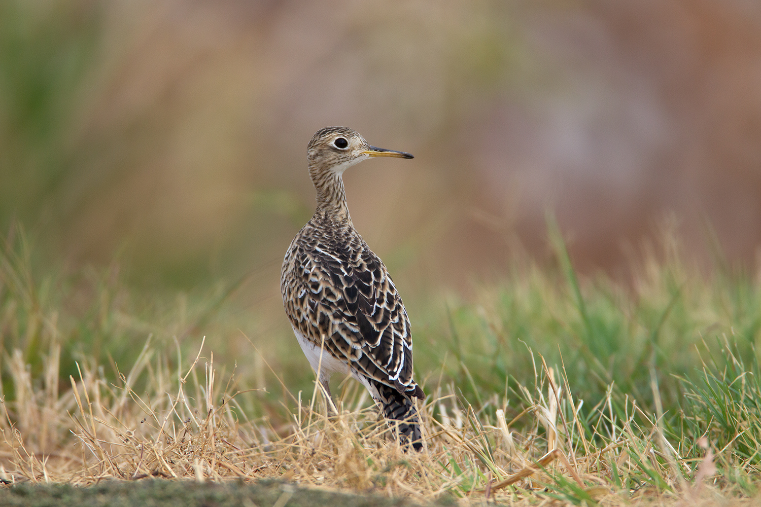 UPLAND SANDPIPER - DALLAS COUNTY TX