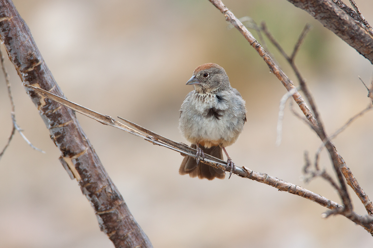 CANYON TOWHEE - PRESIDIO COUNTY TX