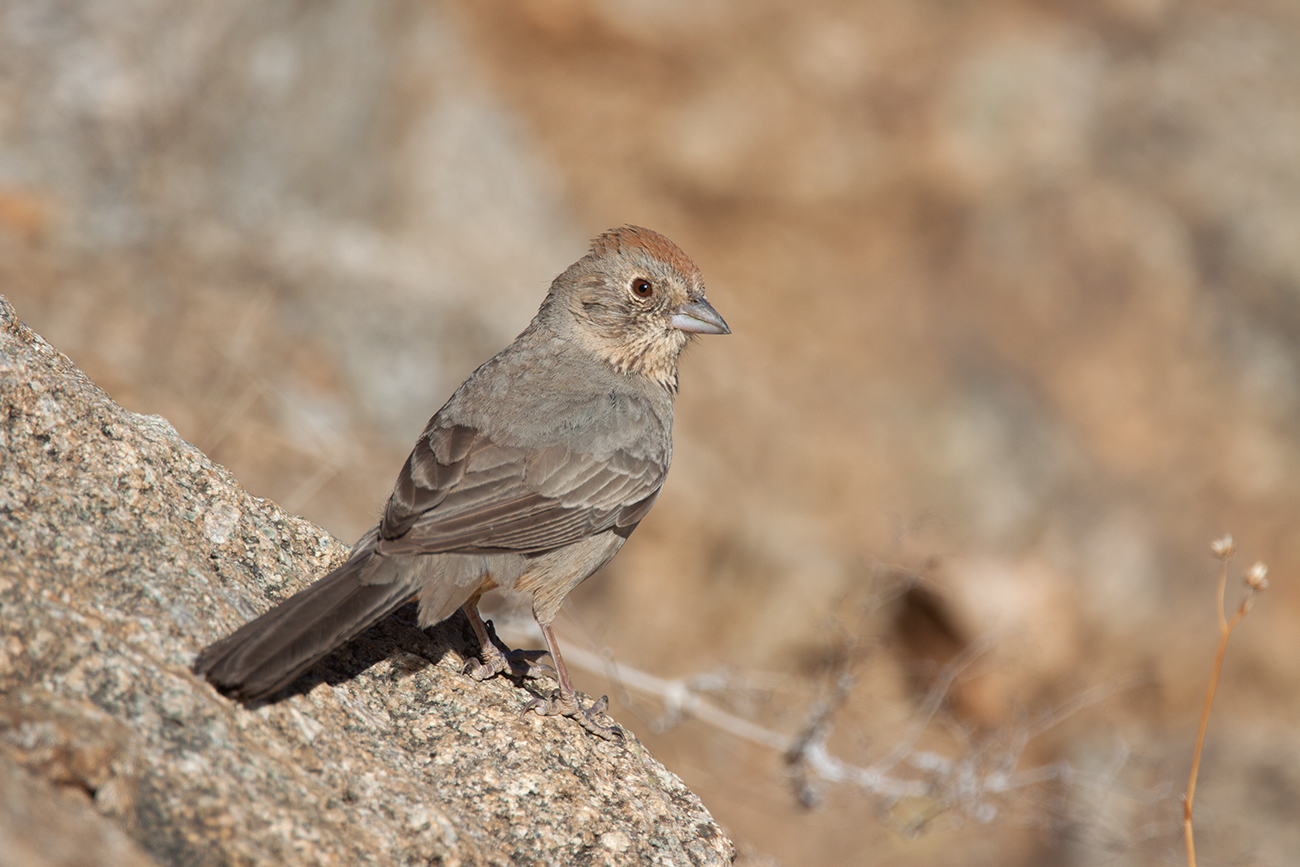 CANYON TOWHEE - ARIZONA