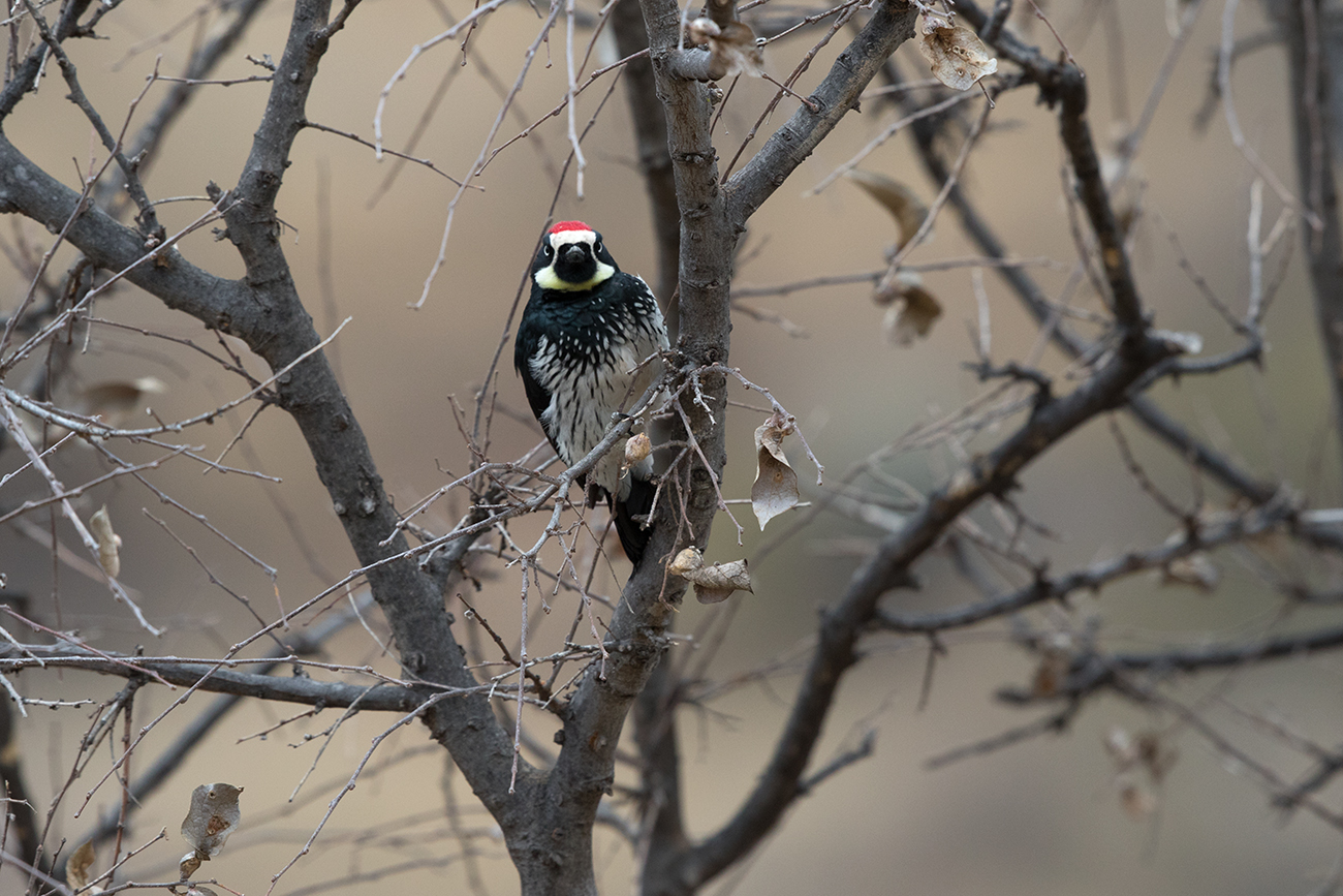 ACORN WOODPECKER - JEFF DAVIS COUNTY TX FEB. 2017