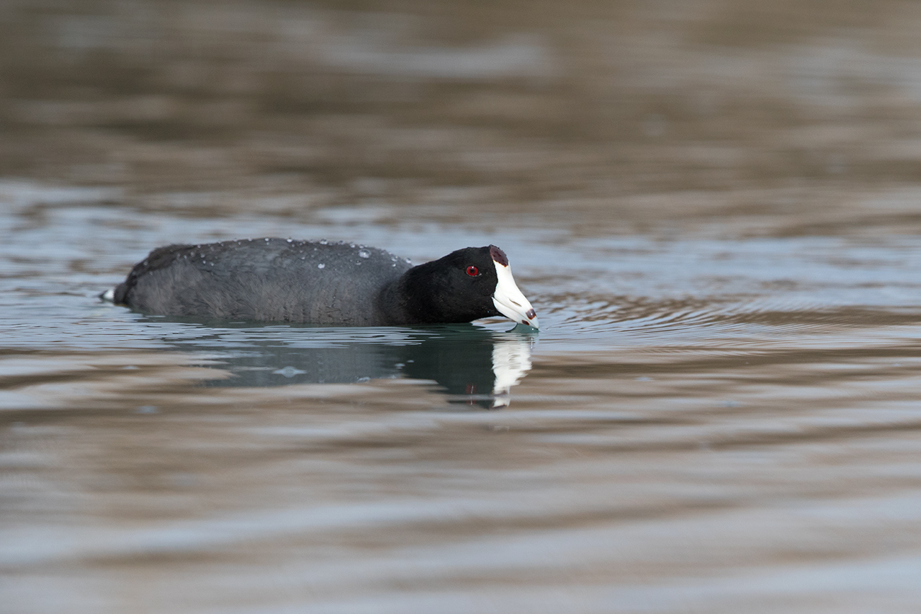 AMERICAN COOT - REEVES COUNTY TX FEB 2017