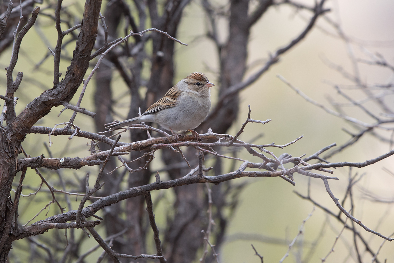 CHIPPING SPARROW - JEFF DAVIS COUNTY TX FEB 2017
