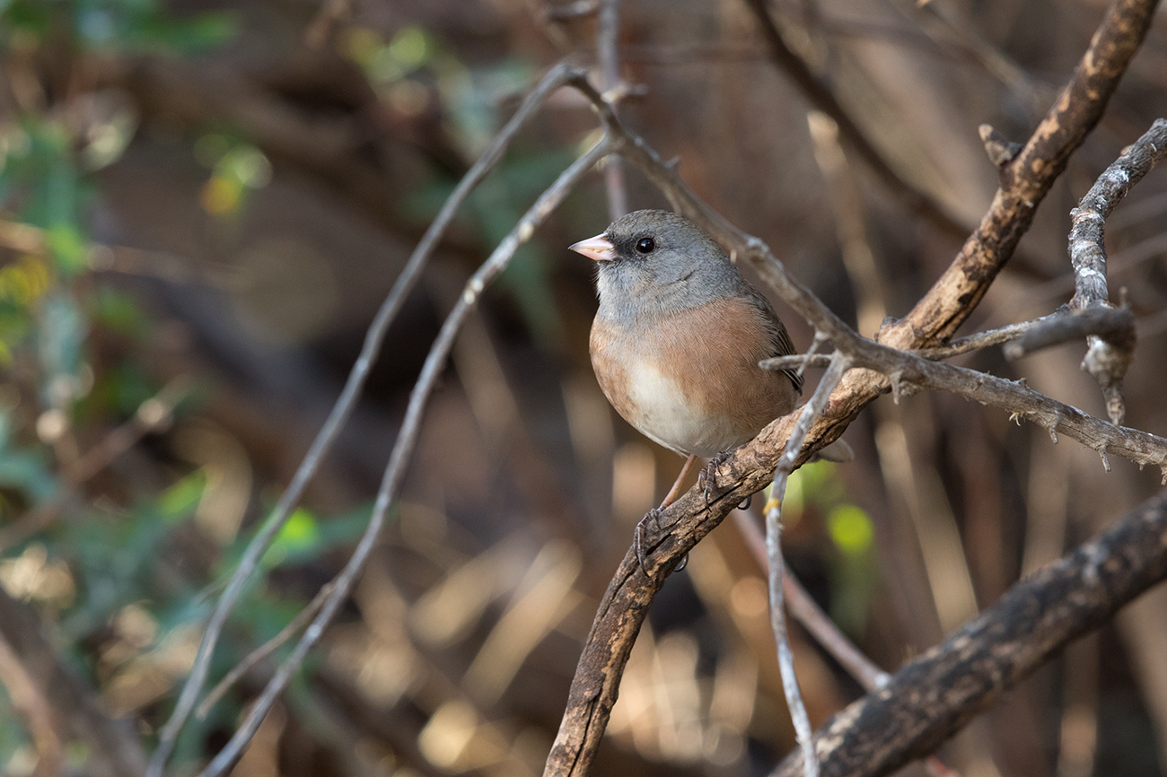 DARK-EYED JUNCO (PINK SIDED) - REEVES COUNTY TX FEB. 2017