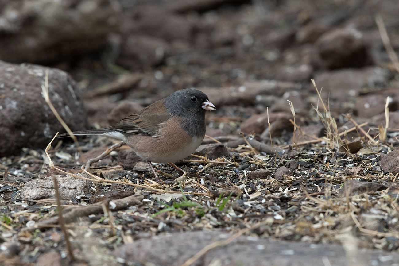 DARK-EYED JUNCO (OREGON) - REEVES COUNTY TX FEB. 2017
