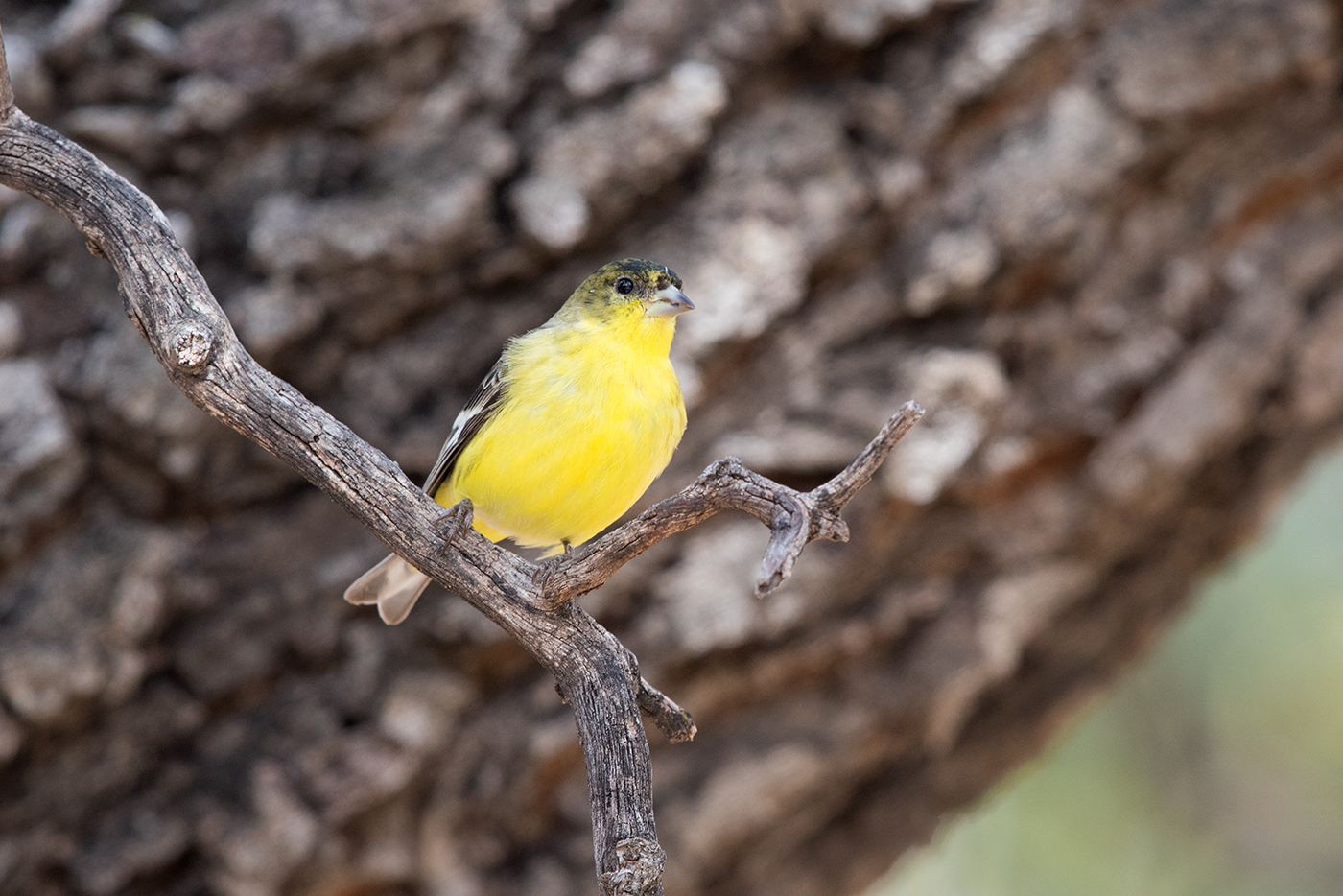 LESSER GOLDFINCH - JEFF DAVIS COUNTY TX FEB. 2017