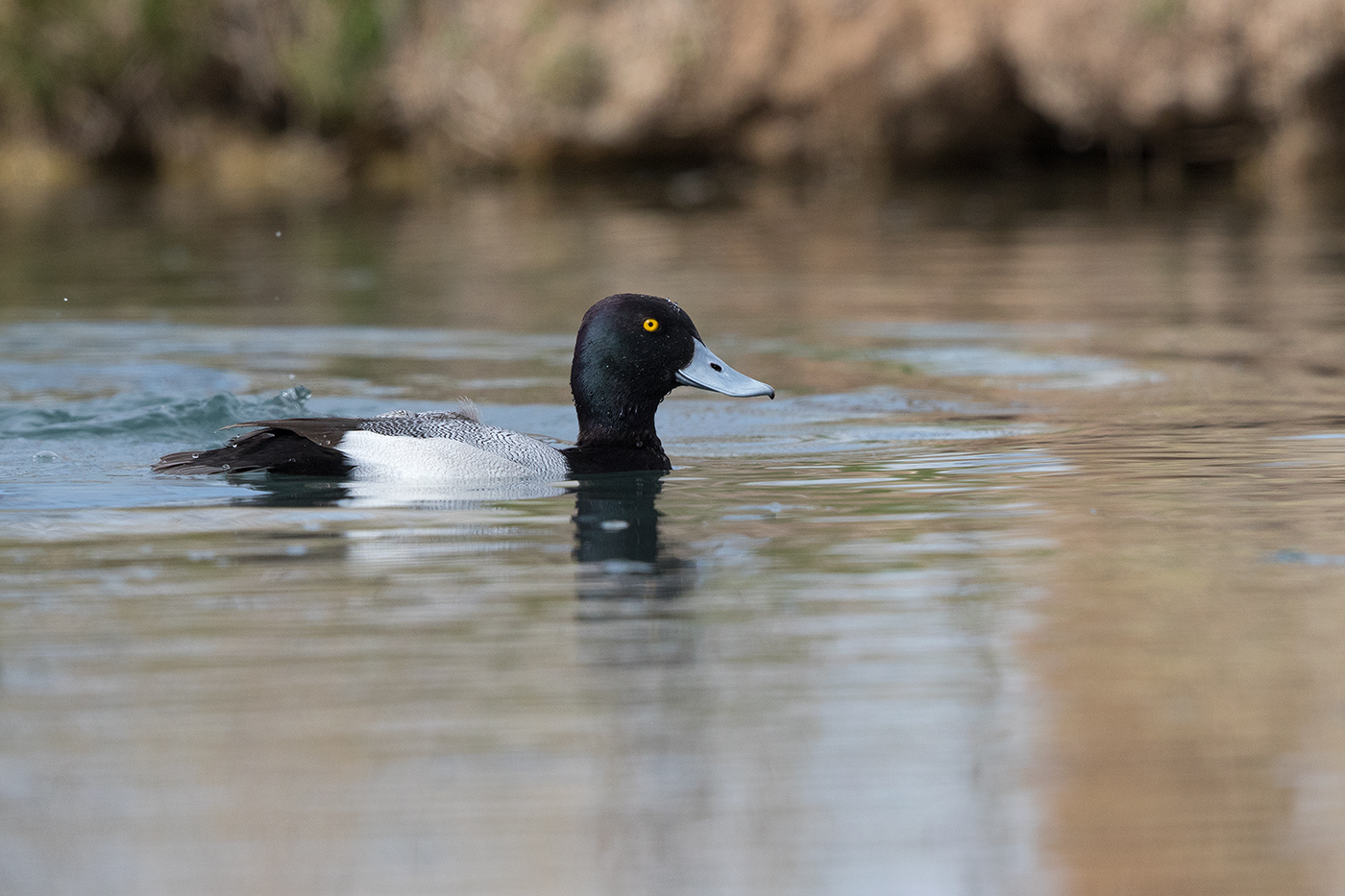 LESSER SCAUP - REEVES COUNTY TX FEB. 2017