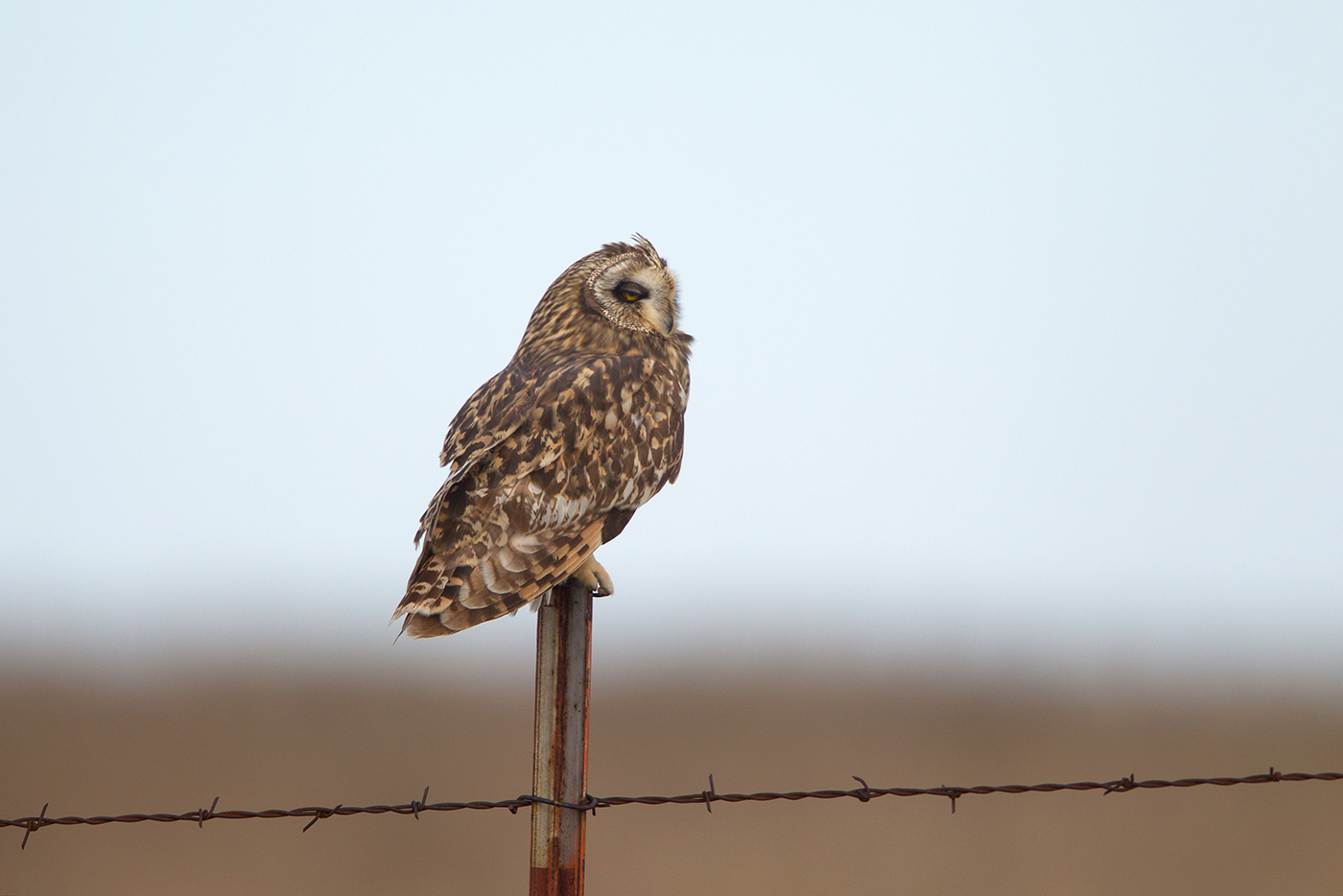 SHORT-EARED OWL - THROCKMORTON COUNTY TX FEB 2017