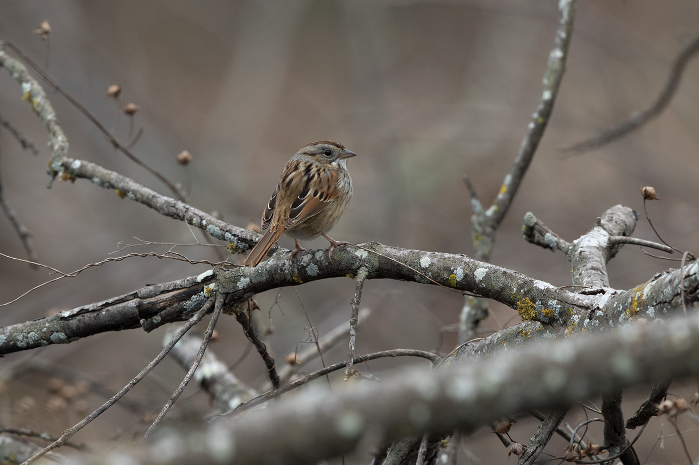 SWAMP SPARROW - GRAYSON COUNTY TX FEB 2017
