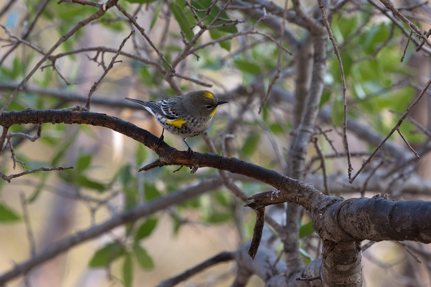 YELLOW-RUMPED WARBLER - JEFF DAVIS COUNTY TX FEB 2017