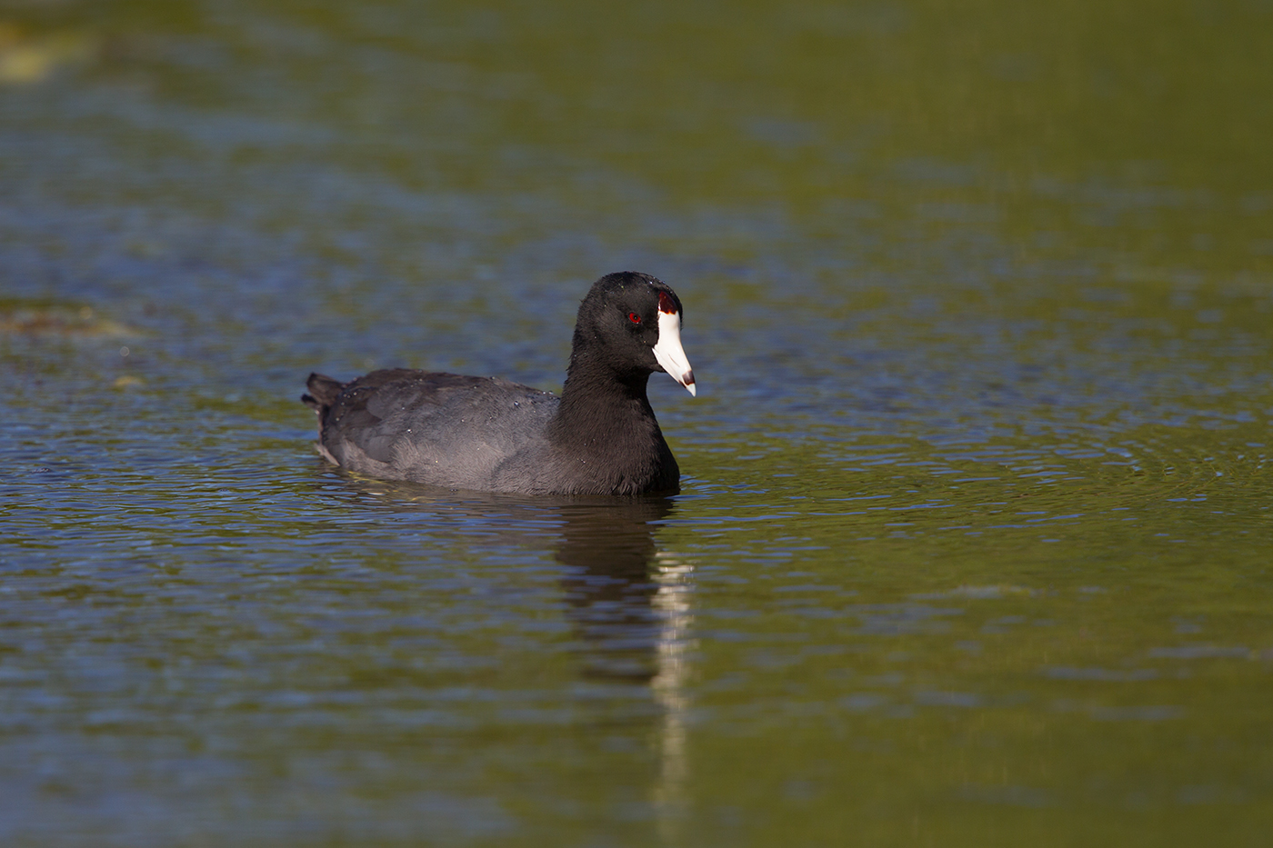 AMERICAN COOT - HIDALGO COUNTY TX MARCH 2017