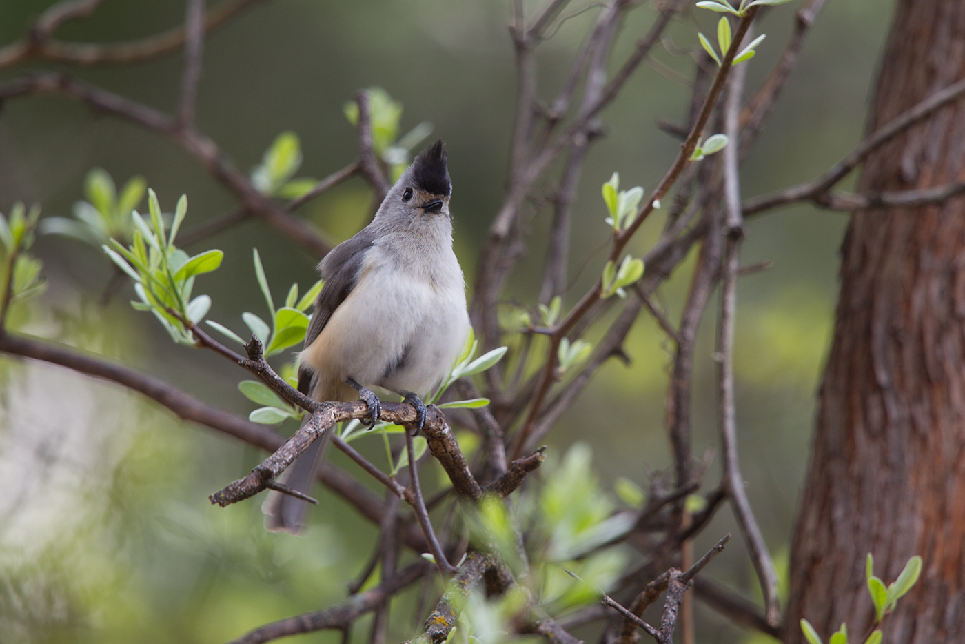 BLACK-CREASTED TITMOUSE - TAYLOR COUNTY TX MARCH 2017