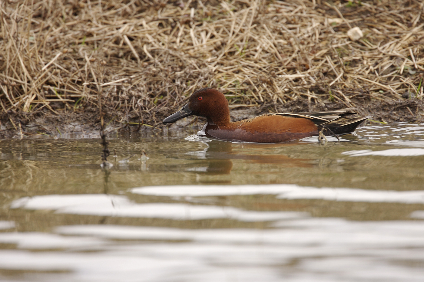CINNAMON TEAL - GRAYSON COUNTY TX