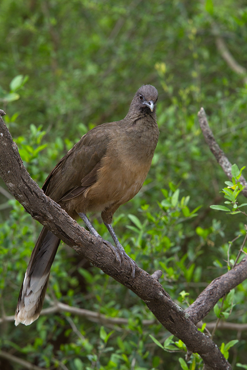 PLAIN CHACHALACA - HIDALGO COUNTY TX MARCH, 2017